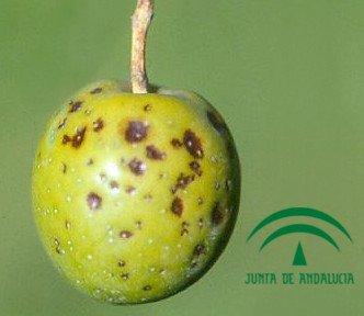 lepra del olivo, aceituna infectada