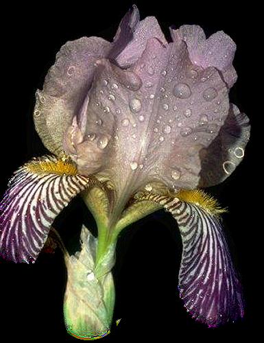 tubes_fleurs_tiram_721