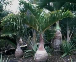 Palm Botol