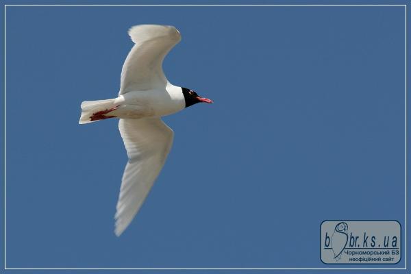 Мартин середземноморський - символ Чорноморського біосферного заповідника