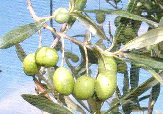 Aceituna Piricuddara