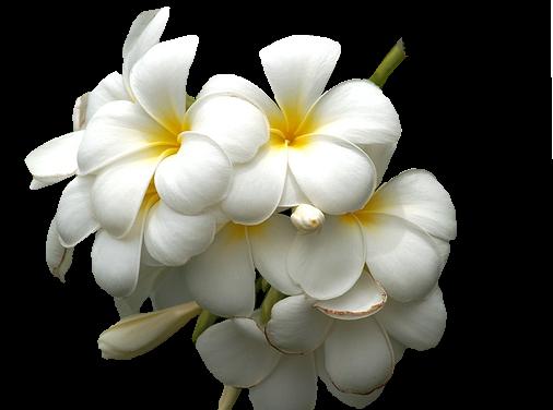 tubes_fleurs_tiram_656