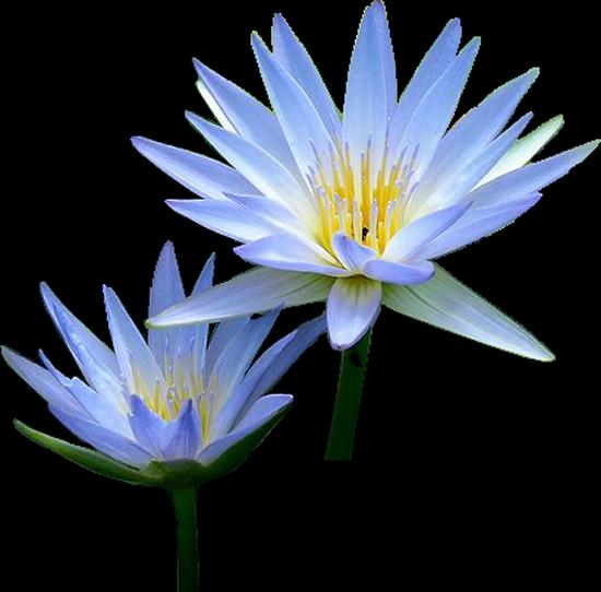 tubes_fleurs_tiram_257