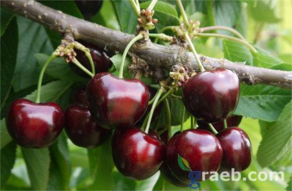 Cerezo Sylvia, variedad de cereza Sylvia, cereza de maduración tardía, foto cerezas