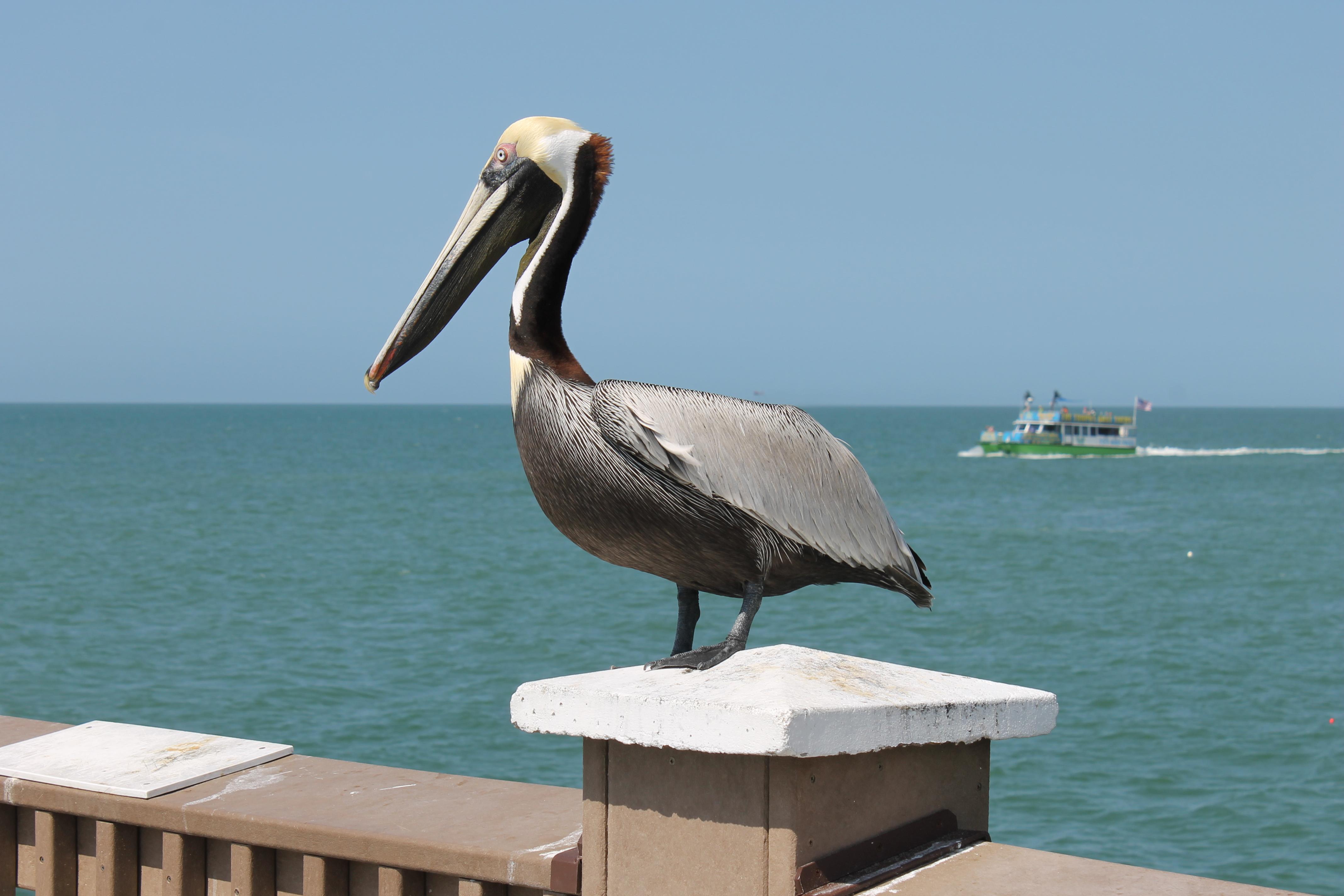 Pelican Clearwater Beach
