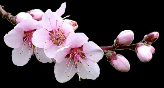 tubes_fleurs_tiram_94