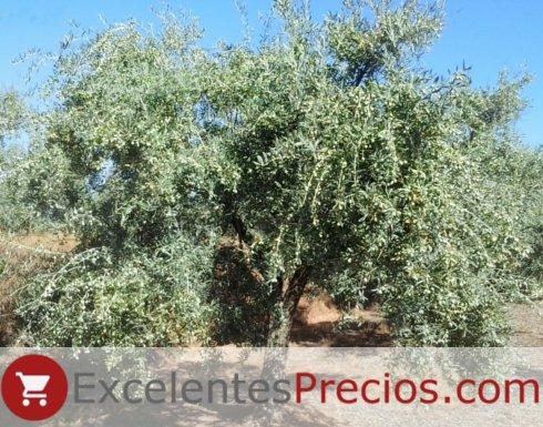 olivo Manzanilla Cacereña, máxima carga, foto olivo