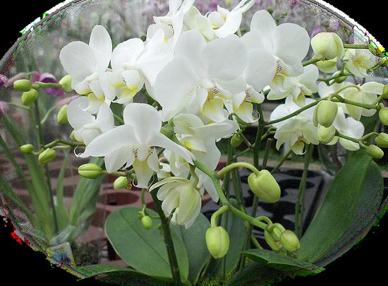 tubes_fleurs_tiram_181
