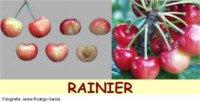 Tipos de cereza: Rainier