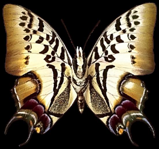 tubes_papillon_tiram_492