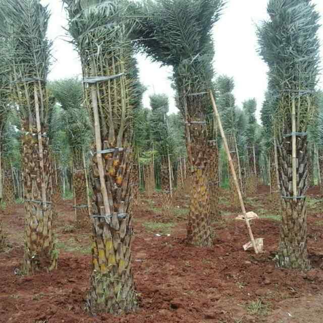 palm kenari