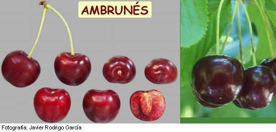 Cereza Ambrunés, variedad de cerezo Ambrunesa, cereza de maduración tardía