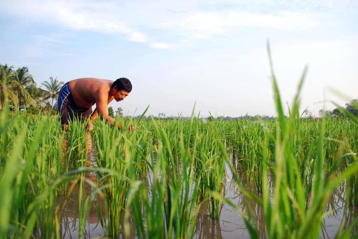 Pusat Cetak Sawah 2 Ribu Hektare Di Lingga Produk Ukm Bumn Tenun Pagatan Kemeja Pria Biru Kapal