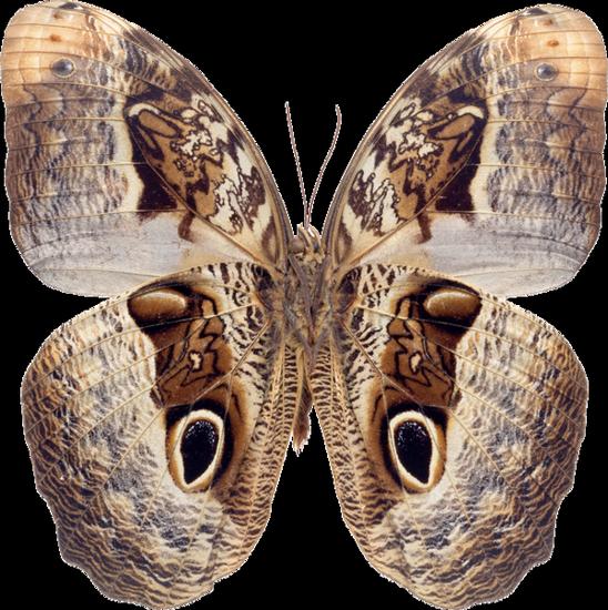 tubes_papillon_tiram_554