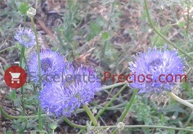 Abeja alimentándose de botón azúl, planta resistente al glifosato