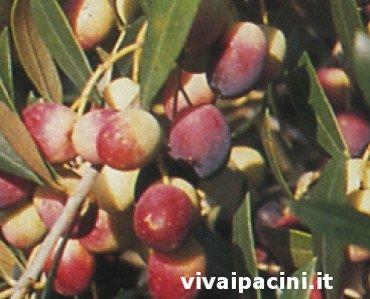 Variedad de olivo Rosciola