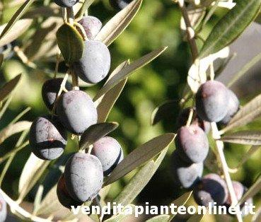 Casaliva olive tree, casaliva olives
