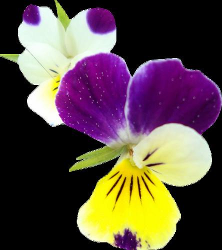 fleurs_paques_tiram_56