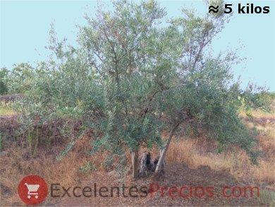 Olivo Manzanilla Cacereña sin apenas 5 kilos de aceitunas