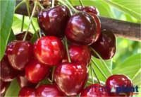 Tipos de cereza: SPC 342