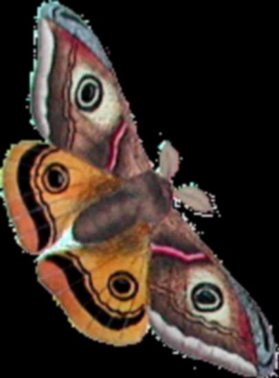 tubes_papillon_tiram_815
