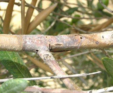 daños producidos por el barrenillo del olivo, rama seca