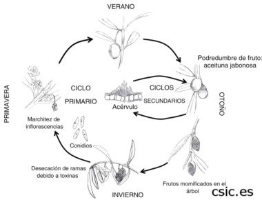 Annual Colletotrichum Cycle
