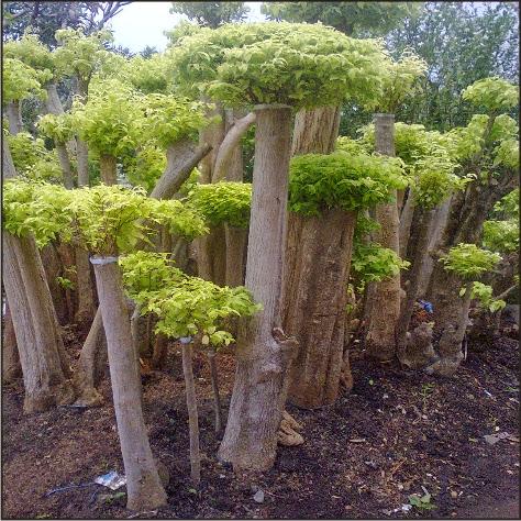 jual bonsai anting putri