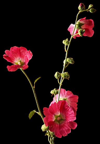 tubes_fleurs_tiram_243