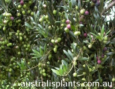 Arbequina olive, Arbequina olive branch