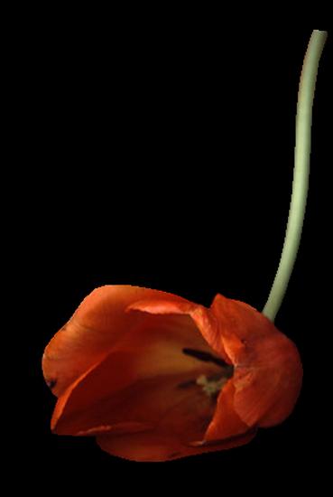 tubes_fleurs_tiram_489