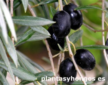 Variety of Moorish Olive, ancient olive trees, Morisca olive tree, Variety of Moorish Olive
