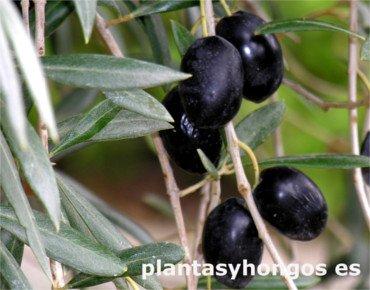 Variedad de Olivo Morisca, olivos milenarios
