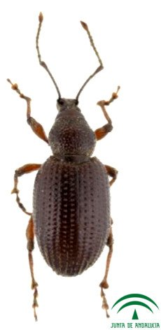Otiorhynchus cribricollis, Otiorrinco of the olive tree, olive beetle, beetle weevil of the olive tree, Otiorrinco black of the olive tree, Serreta