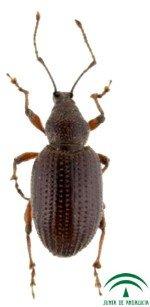 olive tree otiorhynchus, Cribricollis Othiorrhynchus, olive weevil beetle