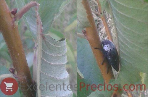 Gusano Cabezudo sobre rama de cerezo, Capnodis tenebrionis, gusano cabezudo cerezo, foto plaga cerezo