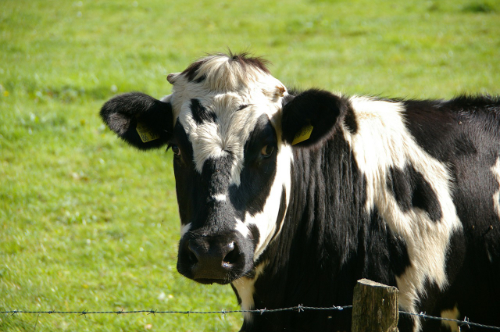 An image of a cow.