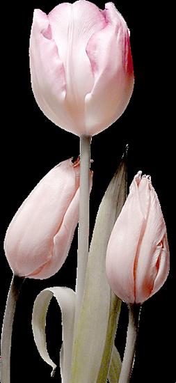 tubes_fleurs_tiram_512