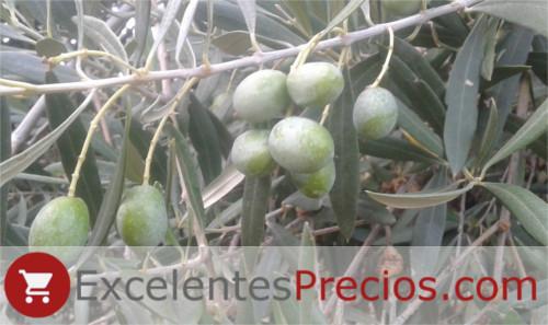 Verdial olive tuberculosis