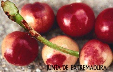 Gnomonia en cerezo: Frutos y pedunculo afectados