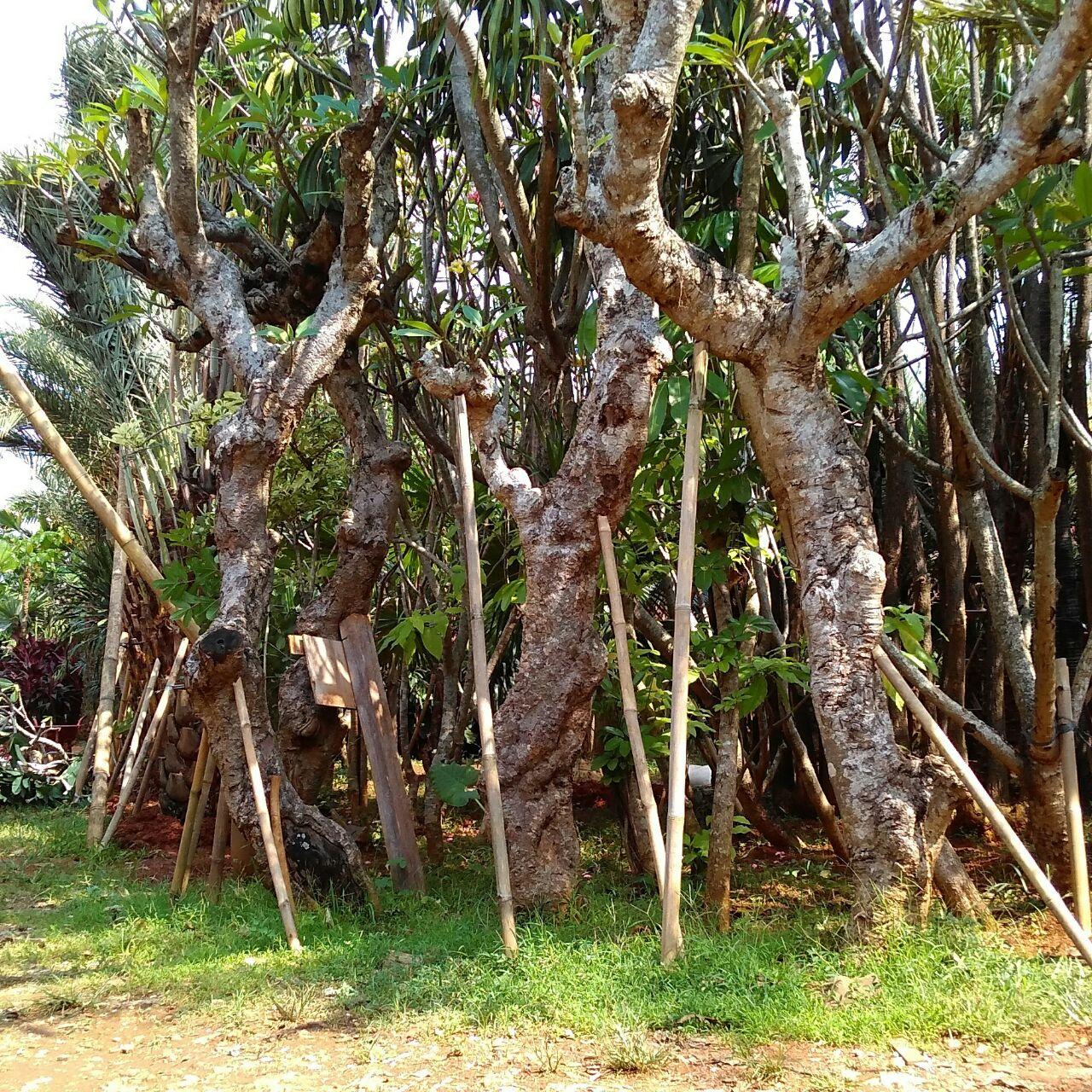 Pohon Kamboja purba