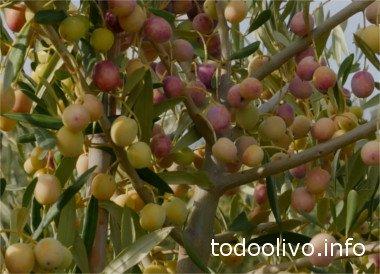 Arbosana Olive tree, olive Harvest