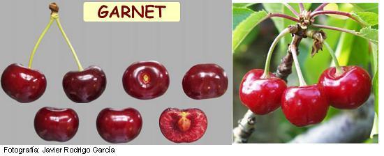 Imagen Cereza Garnet, variedad de cerezo Garnet (Magar) cereza de maduración media