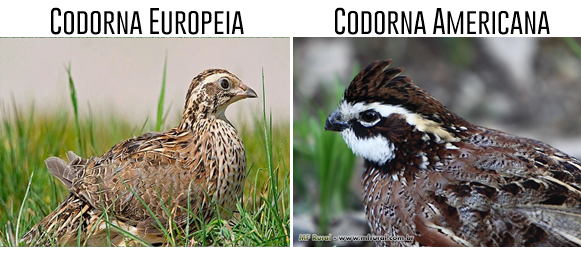 2-ra-as-de-codornas