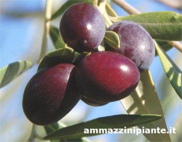 Maurino olives, olive Maurino