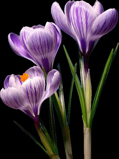 tubes_fleurs_tiram_623