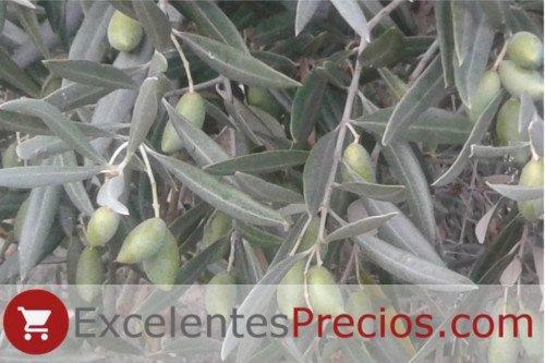 Rama de olivo Cornicabra, producción aceituna cornicabra