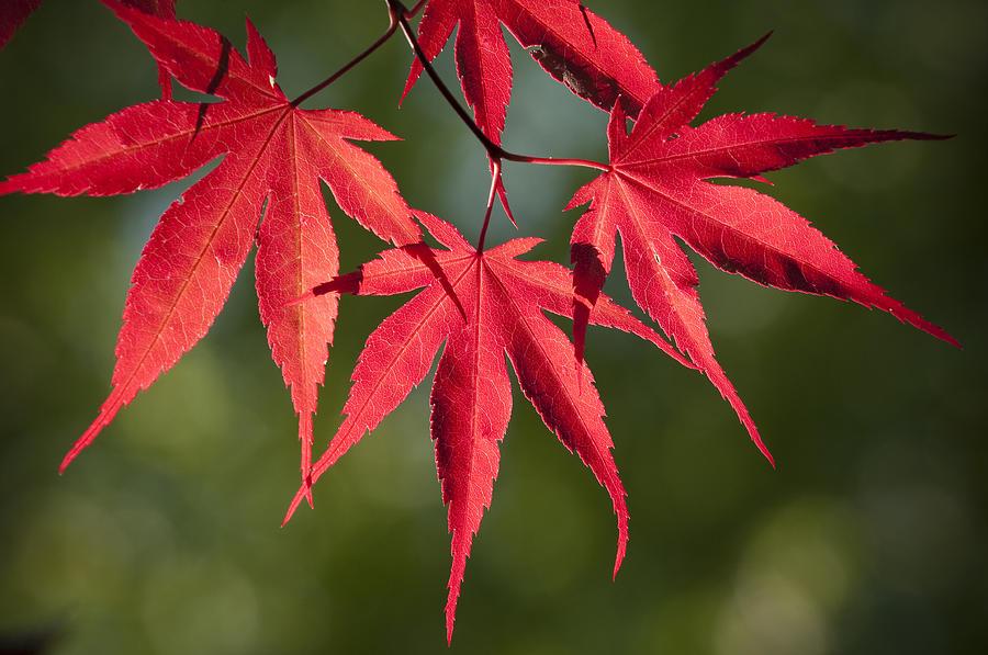 Creación de barras separadoras para poner en los post Red_japanese_maple_leafs_chad_davis