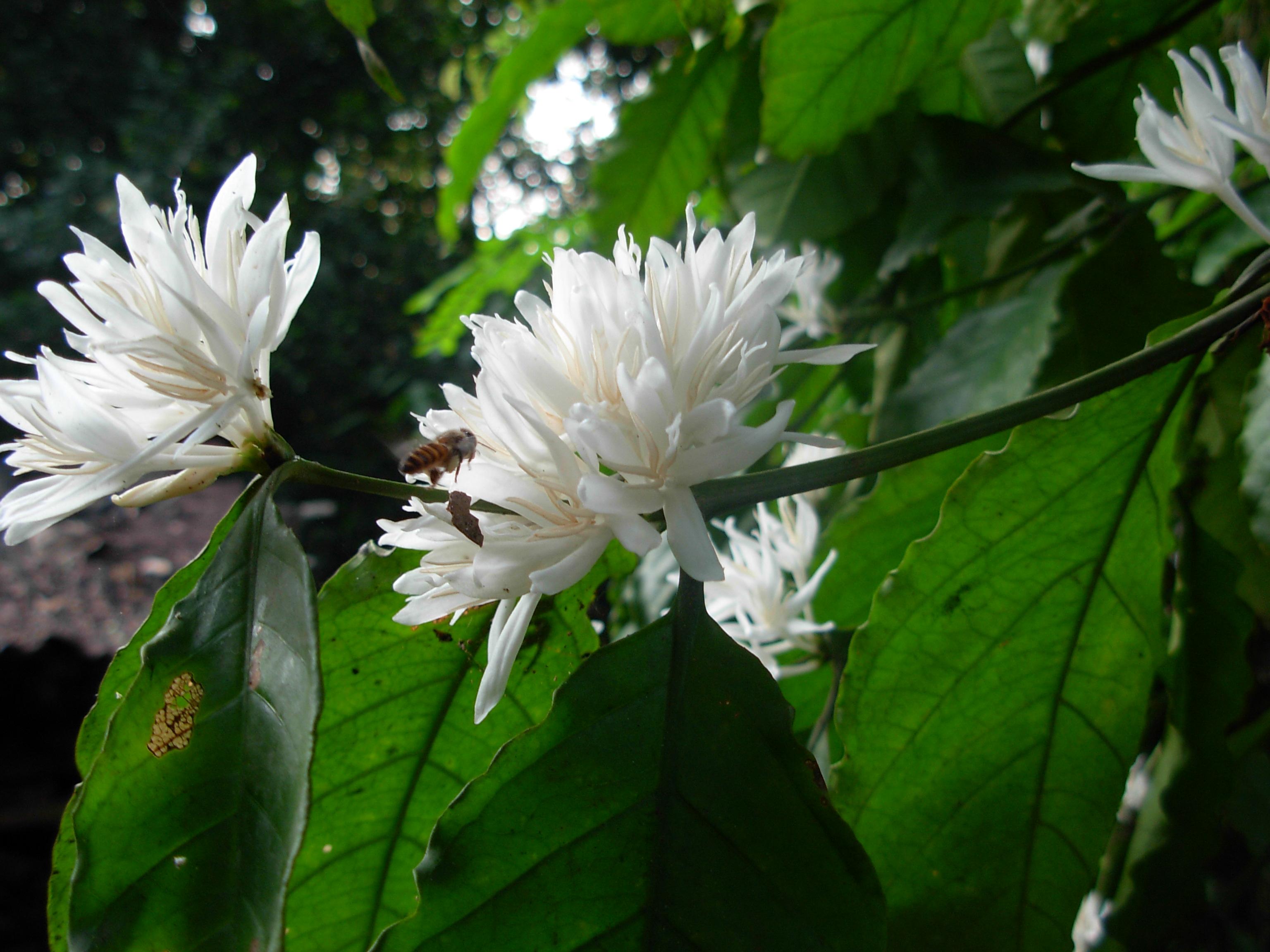 drzewko kawowe z kwiatami