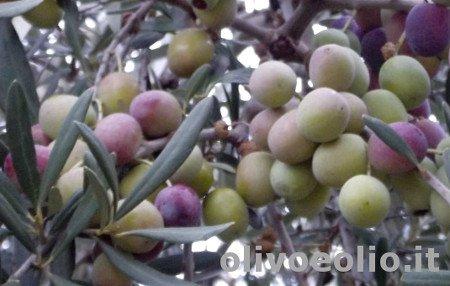 variedad de olivo Peranzana
